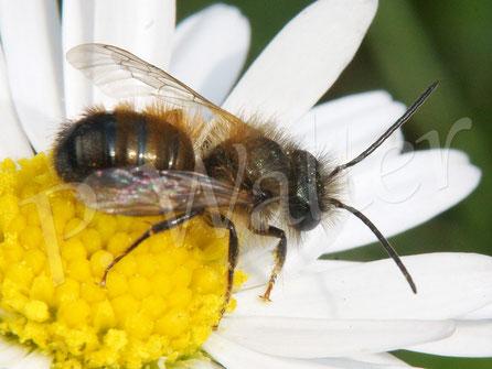 Bild: Männchen der Rostroten Mauerbiene, Osmia cornuta,  am Gänseblümchen