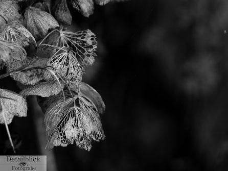 Makrofotografie vertrocknete Hortensien in der Nahansicht - Detailblick Fotografie