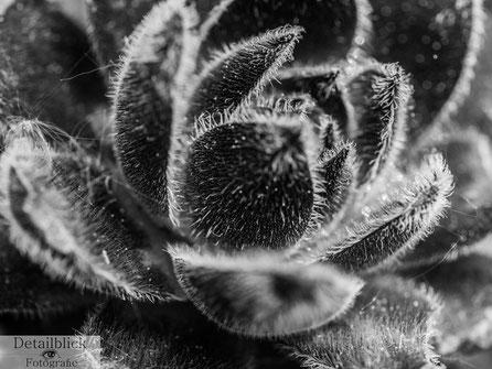 Sukkulente der Art Hauswurz - Makrofotografie auf Detailblick Fotografie
