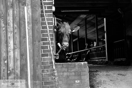 Gegenständliche Fotografie auf Detailblick Fotografie - Kuh schaut aus dem Kuhstall