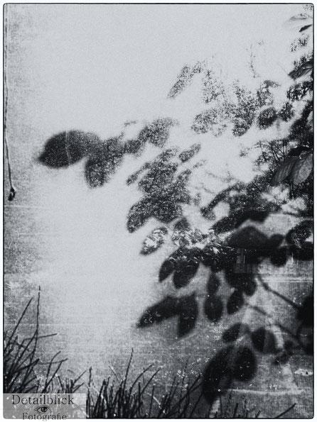 Schatten von Blätter am Fenster