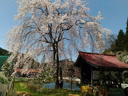 高山市朝日町寺澤地区 神明神社御旅所の枝垂れ桜