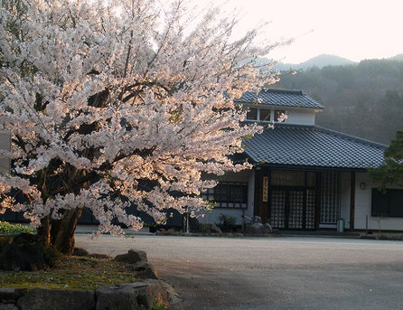 立岩地区 立岩神社境内 枝垂れ桜