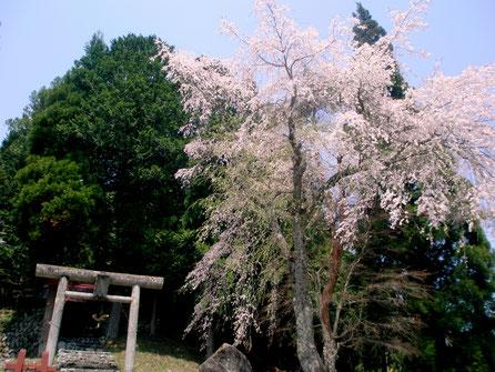 高山市朝日町一之宿神明神社の枝垂れ桜
