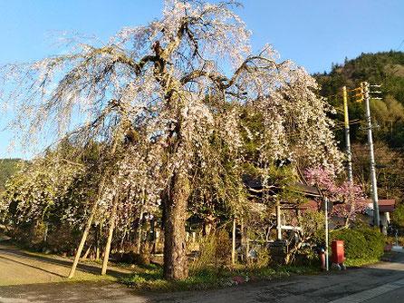 高山市朝日町甲地区円城寺の枝垂れ桜