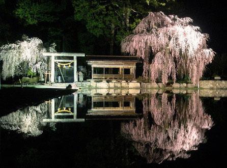 高山市朝日町枝垂れ桜ランキング第1位神明神社境内の枝垂れ桜