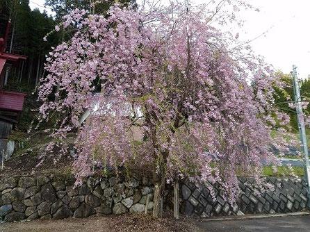 高山市朝日町見座地区金峰神社の枝垂れ桜