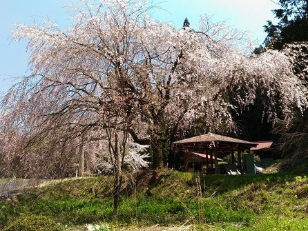高山市朝日町大広地区神明神社御旅所の枝垂れ桜