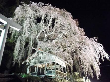 高山市朝日町浅井地区神明神社の枝垂れ桜