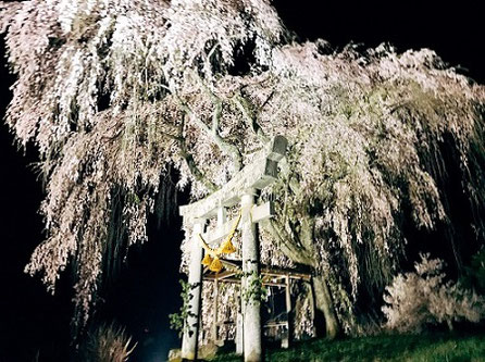 高山市朝日町黒川地区神明神社の枝垂れ桜