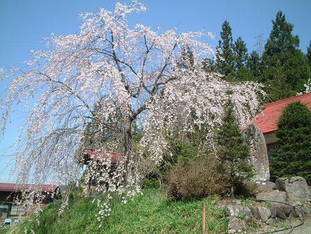 小瀬地区 白山神社境内 枝垂れ桜