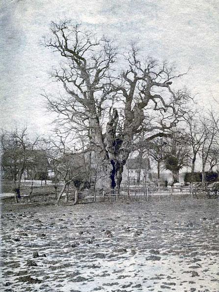 Eiche Berteroda um 1900