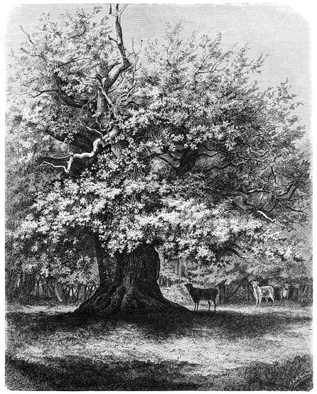 Amalieneiche um 1880, nach einer Skizze von F. Lindner