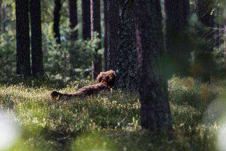 Zum Vergleich: Bürschtl bewegt sich bei der Schweißfährte durch die Heidelbeeren, die fast so hoch sind wie er selbst.