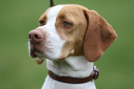 Braque Saint Germain, Hund der Könige