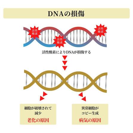 活性酸素は細胞膜やDNA、ミトコンドリアを破壊する