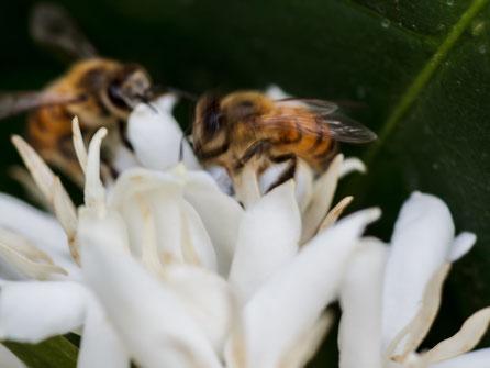 【ブラジル産純粋蜂蜜】コーヒーはちみつ,はちみつオンライン通販ビーハニー