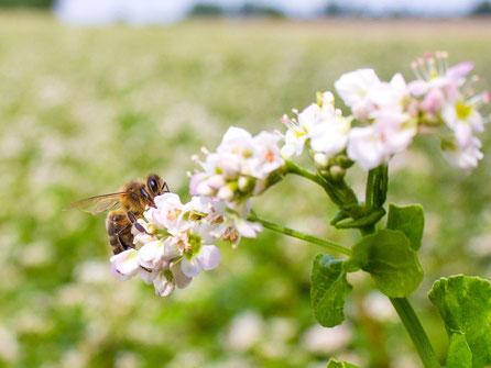 【国産純粋蜂蜜】そばはちみつ,はちみつオンライン通販ビーハニー