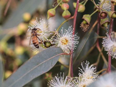 【ブラジル産純粋蜂蜜】ユーカリはちみつ,はちみつオンライン通販ビーハニー