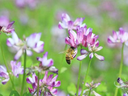 【国産純粋蜂蜜】れんげはちみつ,はちみつオンライン通販ビーハニー