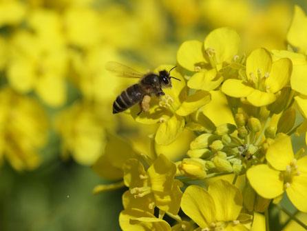【国産純粋蜂蜜】アカシアはちみつ,はちみつオンライン通販ビーハニー
