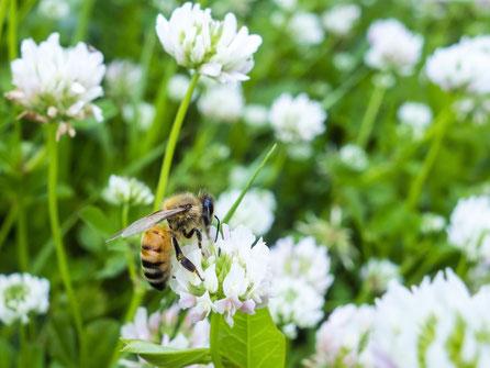 【カナダ産純粋蜂蜜】クローバーはちみつ