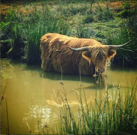 vache highland se rafraichissant dans une marre naturelle , ferme bio de la Millanchère