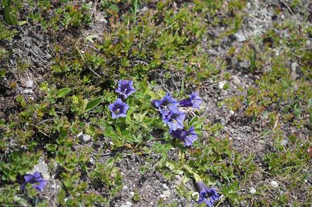 Auf saftigen Alpenwiesen und an kargen Felswänden blühen Edelweiss und Enzian mit Alpenrosen und Bergthymian um die Wette