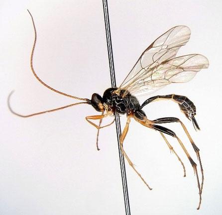 アシジロホシフタオヒメバチ Astiphromma nigriventris Nakanishi, 1969 ♀