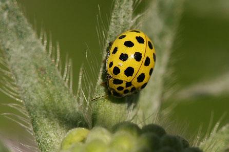 Zweiundzwanzigpunkt-Marienkäfer (Psyllobora vigintiduopunctata)