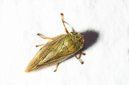Braune Weidenschaum-Zikade  Aphrophora salicina
