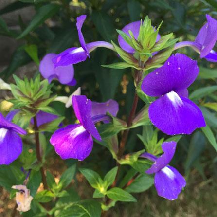 10月も半ばになってきましたね、、通勤中キンモクセイの香りが気持ちいいです♪ 10月のうちの花のラインナップは、アトランティス