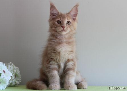 мейн-кун котята, питомник мейн-кунов, продажа мейн-кунов