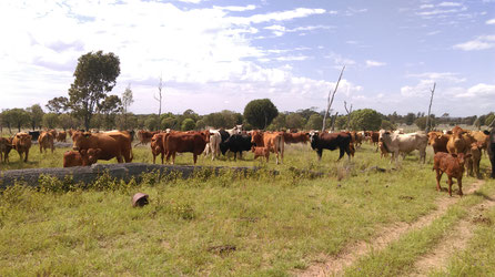 mustering the cattle by bike or horse, a lot of cows staring at us with calves on a meadow in australia