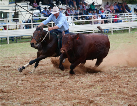 campdraft in chinchilla australia, cow cattle beast and horse with rider running, campdrafting