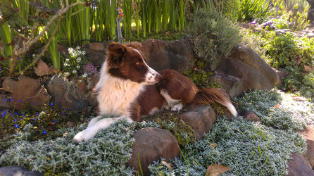 Chocolate: The dog here at the farm in South Africa lying in a flower bed on top of some stones.