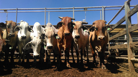 brahmen and mix cattle staring into the camera at the saleyards in roma, australia cows