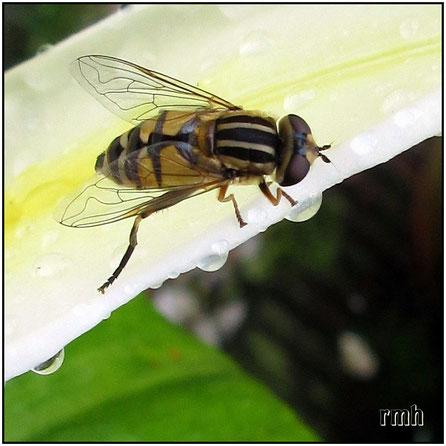 Hoverfly (Heliophilus trivittatus)