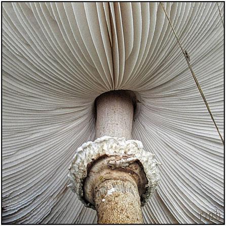 parasol mushroom (Mastocephalus procerus)
