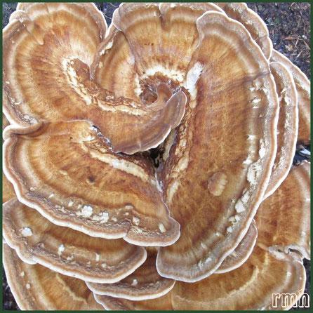 thin-maze flat polypore [Daedaleopsis confragosa]