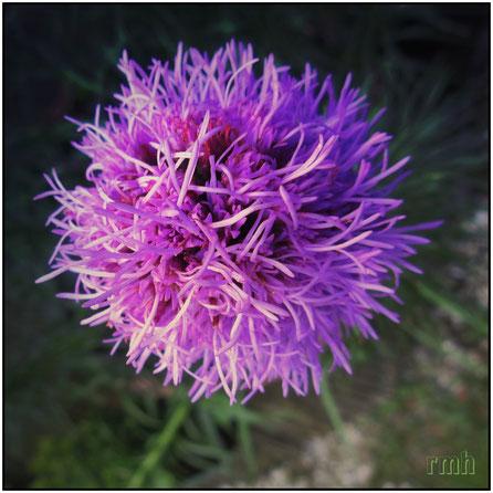 blazing star  (liatris spicata) ...