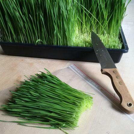 Frisches Green Connection Bio Weizengras zum Entsaften