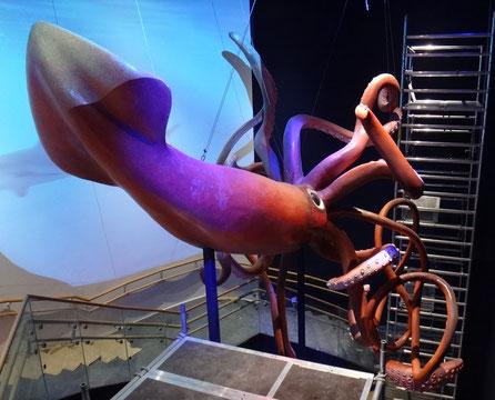 Kraken, Calamar gigante para el Nuevo Aquario Atlantis