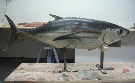 thunnus alalunga (bonito del norte, atún blanco, albacora, reproducción para museo