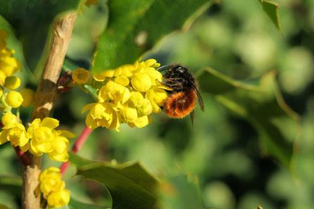 Gehörnte Mauerbiene auf Berberitze