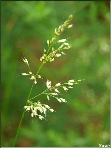Epi de Molinie ou Molinie Bleue (Molinia caerulea) ou Paleine, flore Bassin d'Arcachon (33)