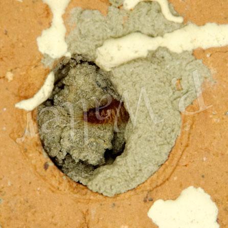 28.08.2020 : irgendeine parasitäre Raupe/Larve, kurz bevor sie durch den Lehmverschluss ins Innere der Nistkammern der wahrscheinlich Rostroten Mauerbiene verschwindet ...