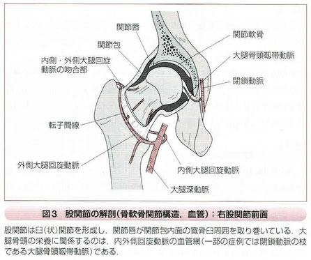 股関節の解剖(骨軟骨関節構造、血管)