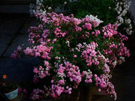 Rose, AincaArt, Ainca Gautschi-Moser, Foto und Text, Writer, Photographer, www.aincaart.ch, Quersatz,