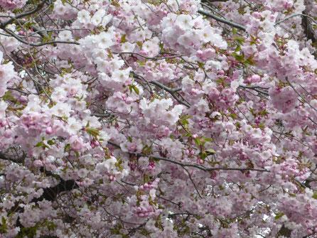 Kirschblüten am Kungsträdgården in Stockholm